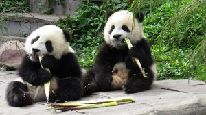 So cute. Can't wait to visit the panda in China within the next year.