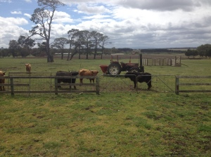 Natalie's Highland Cows <3